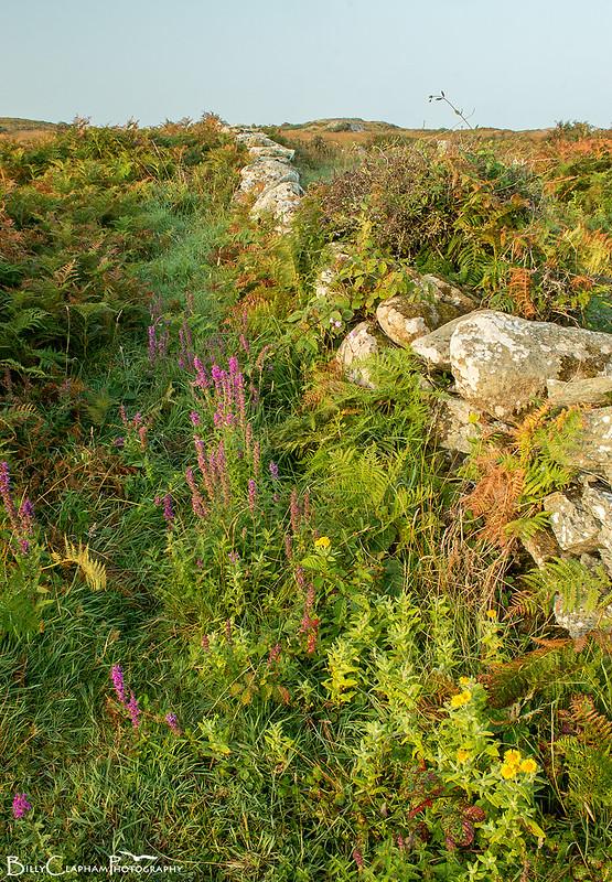 anglesey wall heath scrub fllowers
