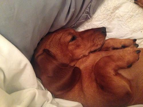 Lettice miniature smooth dachshund