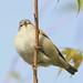 Tennessee Warbler (TEWA)( vert. )