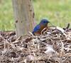 Eastern Blue Bird Gathering Nesting Material