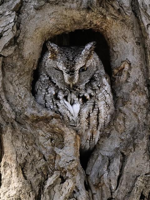 Petit-duc maculé ------- Eastern screech owl ------- Autillo yanqui