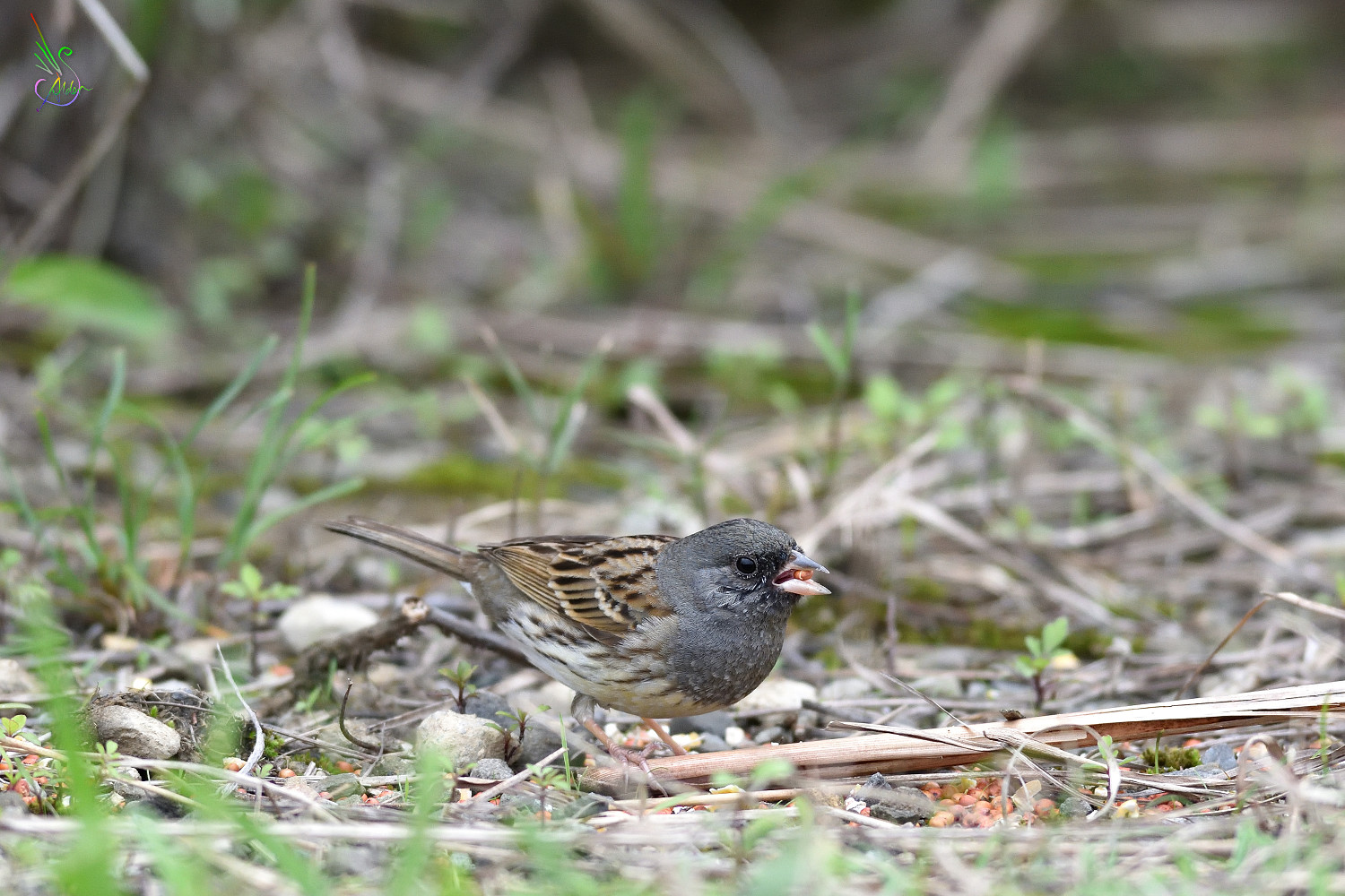 Black-faced_Bunting_8648