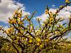 Yellow Flowers - Blue Sky