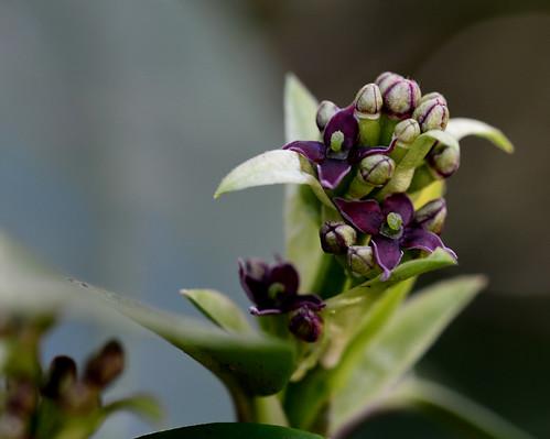 Japanese Laurel, Aucuba japonica