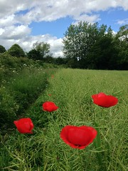 More poppies