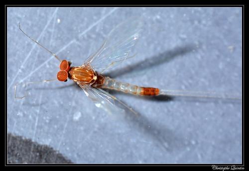 Baetidae mâle