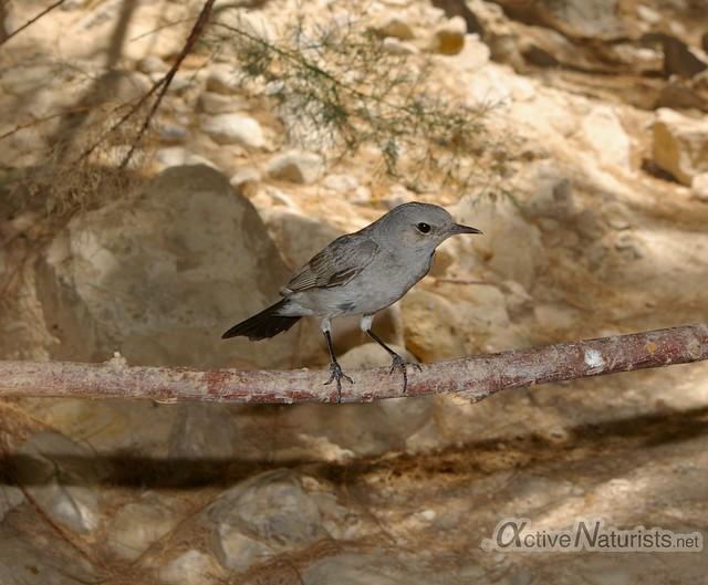 bird 0001 Nahal Arugot, Dead Sea, Israel