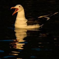 Sildemåke. Lesser black-backed gull.
