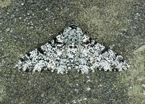1931 Peppered Moth - Biston betularia