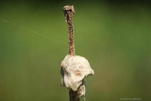 Typha - Cattail - Ożypałka