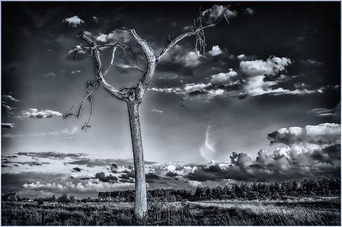 Dead tree in Landes