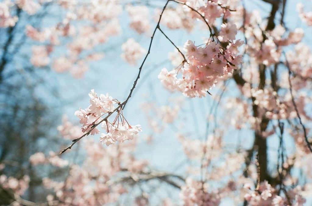 Flowering Cherry 1