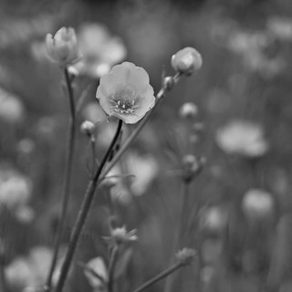Black and White Buttercup