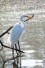 animal, fauna, reflection, great egret, heron, pelecaniformes, beak, bird, wildlife,