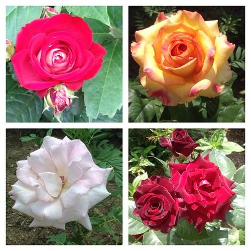 Мои розы-2 #старыйкрым
