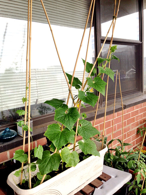 Dragon's egg cucumber plants in containers