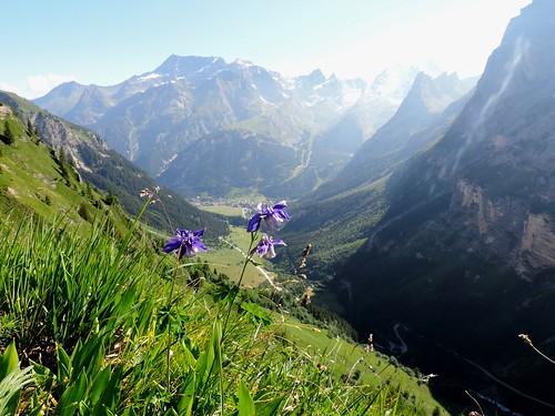 Aquilegia alpina=Ancolie des Alpes (3)