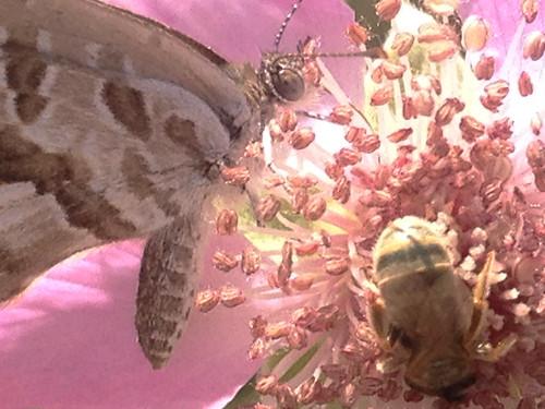 Cacyreus marshalii (geranium bronze)
