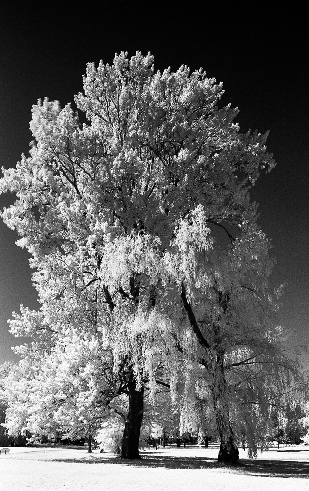 IR Portrait, Tree