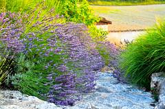 Last Rays of Light on the Lavender