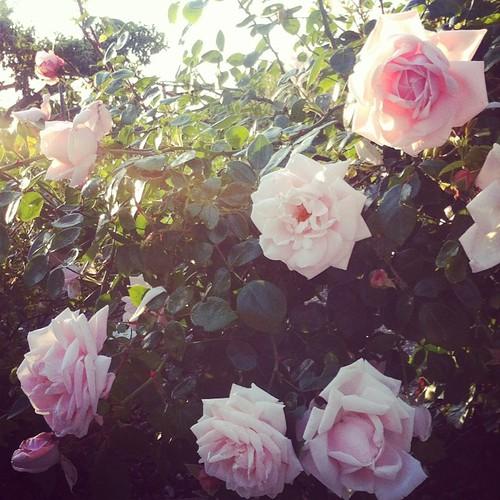 Mammas rosor.