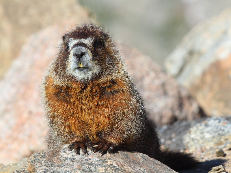 IMG_4506 Yellow-Bellied Marmot on Mount Evans, Arapaho National Forest