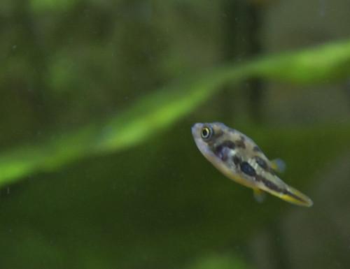 Dwarf Pufferfish