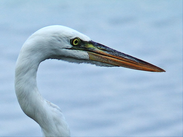 Great White Heron portrait 20140811