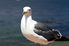 albatross(0.0), animal(1.0), charadriiformes(1.0), wing(1.0), fauna(1.0), great black-backed gull(1.0), european herring gull(1.0), beak(1.0), bird(1.0), seabird(1.0), wildlife(1.0),