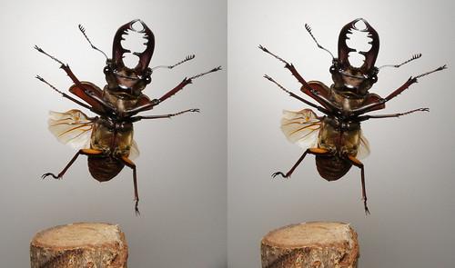 Lucanus maculifemoratus, stereo parallel view