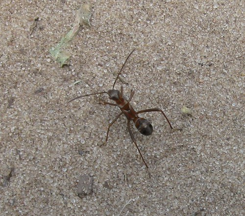 Ant, Spring Green Preserve