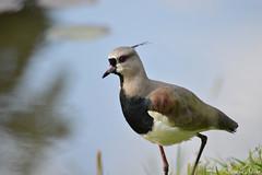 Pássaro Quero - Quero