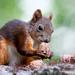 Eurasian red squirrel (Sciurus vulgaris) Európai mókus