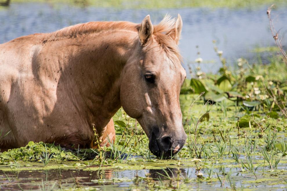 En el Campamento Laguna Capitán, un caballo se alimenta de las algas y plantas que crecen en las lagunas. (Antonio Tang)