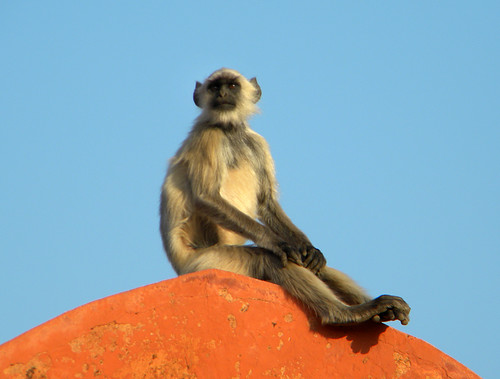 Monkeys watching the sunset at Amber Fort just outside of Jaipur, India