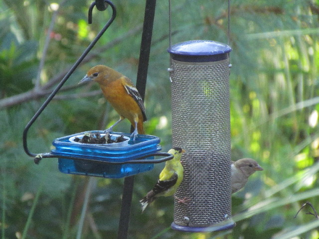 Oriole and bees8 8:17:14