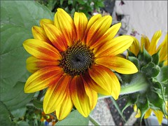 Bi-color sunflower