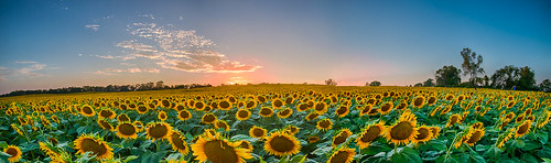 summer panorama lawrence sunflowers sunflower kansas 2014 tonganoxie grintersfarm