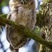 Tawny Owl - Strix aluco - (Swe: Kattuggla)