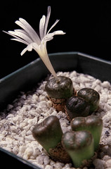 From the archives: Conophytum cupreatum