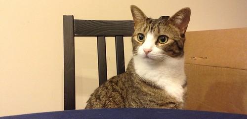 Amelia cat