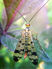 Mrs. Scorpionfly