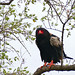 Small photo of Bateleur (Terathopius ecaudatus) male