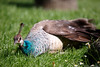 Peahen - Relaxing in the sun