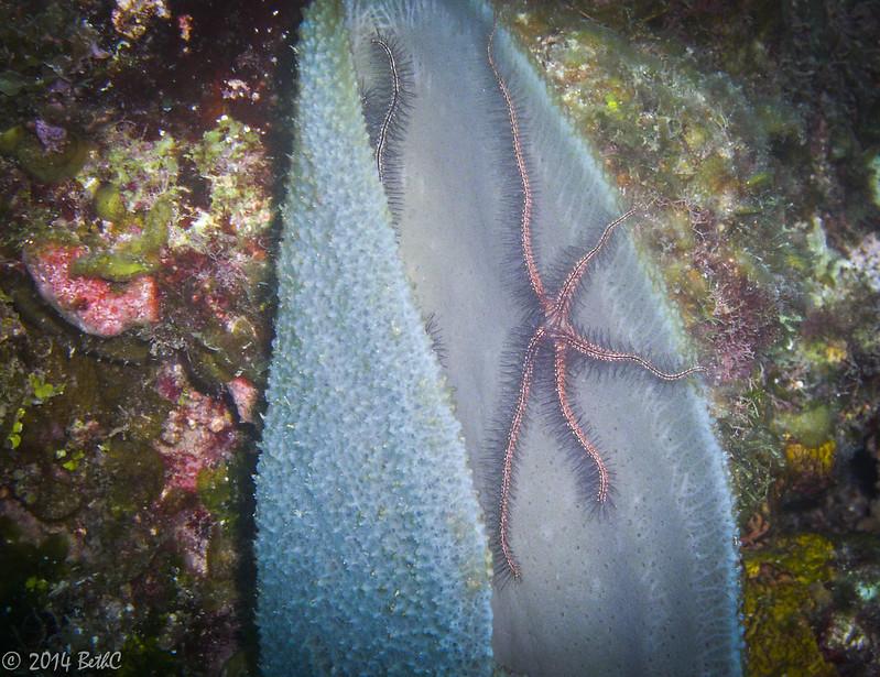 164-365 Brittle Star