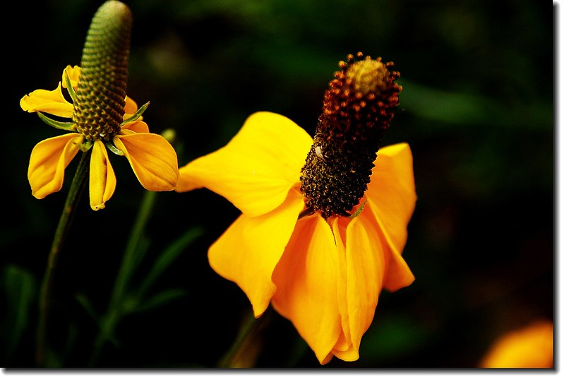 Prairie Coneflower (Mexican Hat) 10