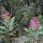 Oreocallis (Proteaceae), native to the high Andes