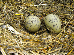nest, bird nest, egg,