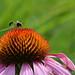 Echinacea am Bundesplatz