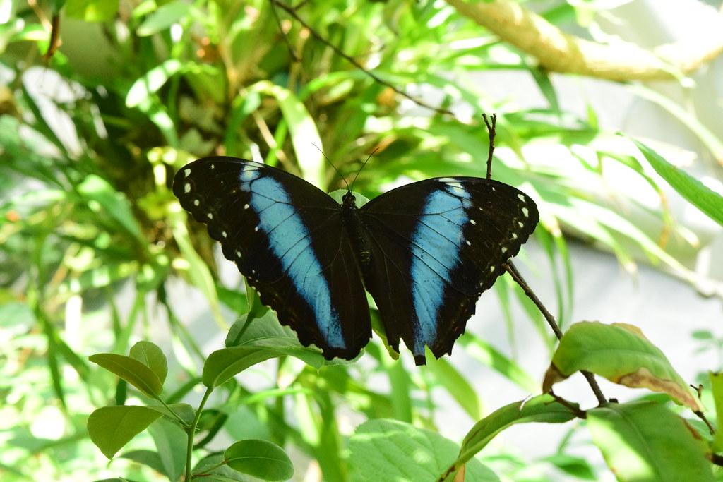 Morpho achilles blue_black butterfly (10)